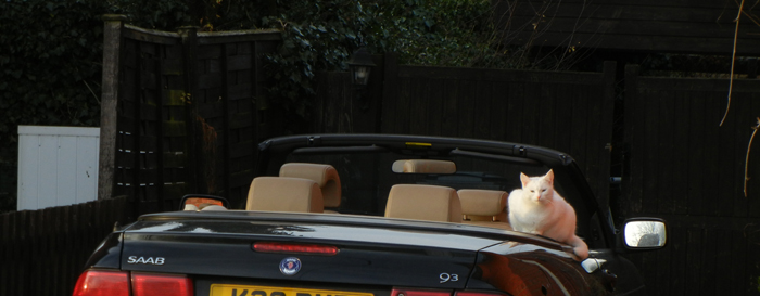 White cat on soft top car
